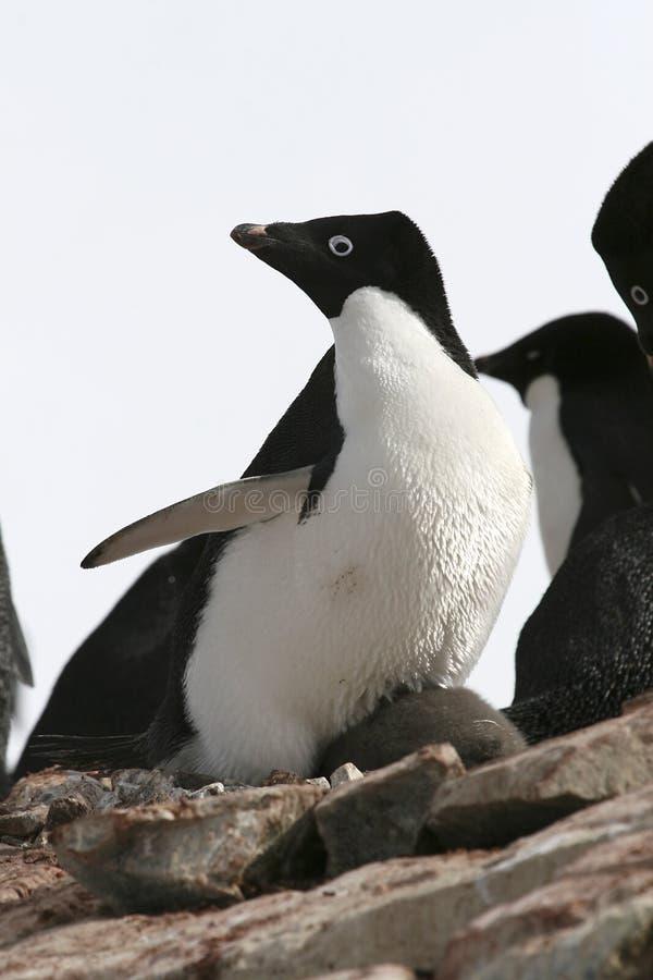 Adelie-Pinguin stockfoto