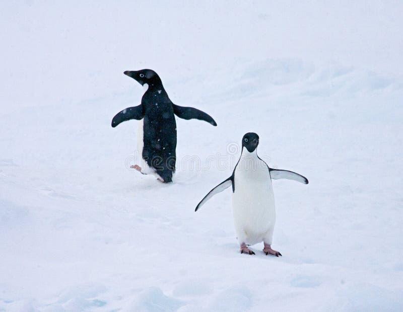 Adelie Pinguin, Adelie Penguin, Pygoscelis adeliae. Adelie Pinguin in de sneeuw;Adelie Penguin in the snow stock images