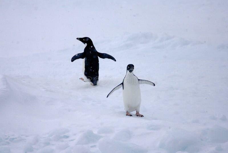 Adelie Pinguin, Adelie Penguin, Pygoscelis adeliae. Adelie Pinguin in de sneeuw;Adelie Penguin in the snow royalty free stock photography