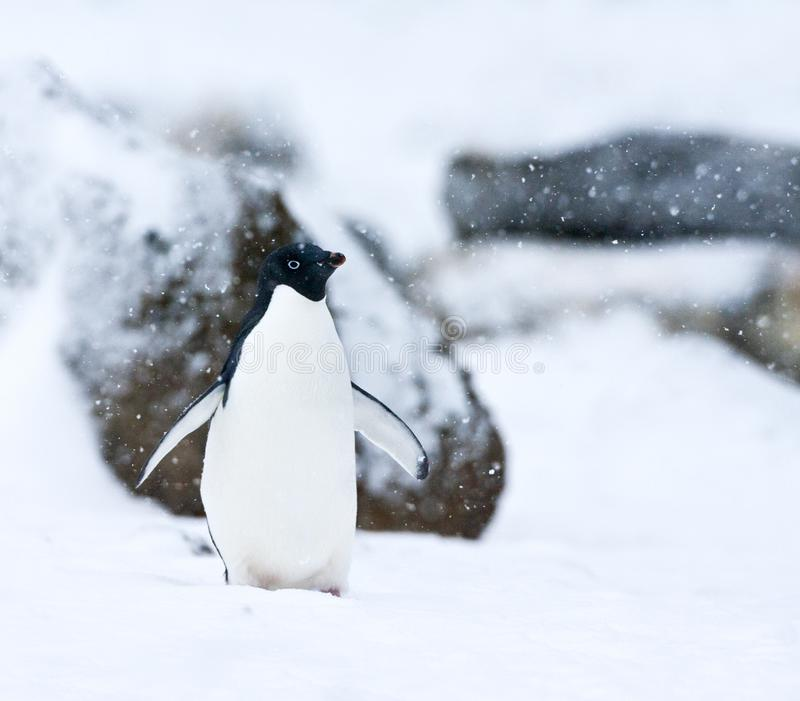 Adelie Pinguin, Adelie Penguin, Pygoscelis adeliae. Adelie Penguin (Pygoscelis adeliae) walking in a snow-covered Antarctica in late summer royalty free stock photos