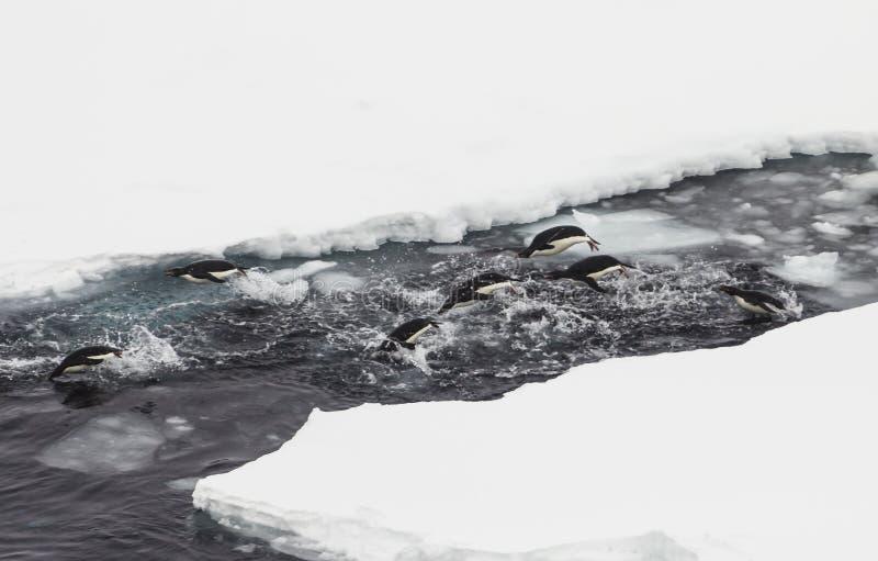 Adelie-Pinguine in Antarktik stockfotos