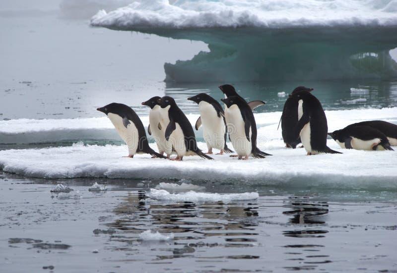 Adelie-Pinguine auf Eis-Scholle in der Antarktis stockfotos