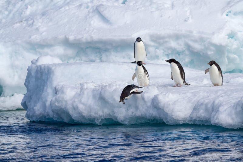Adelie-Pinguine, die vom Eisberg springen lizenzfreie stockfotos
