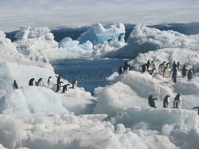 Adelie pingvin i snö och is arkivfoton