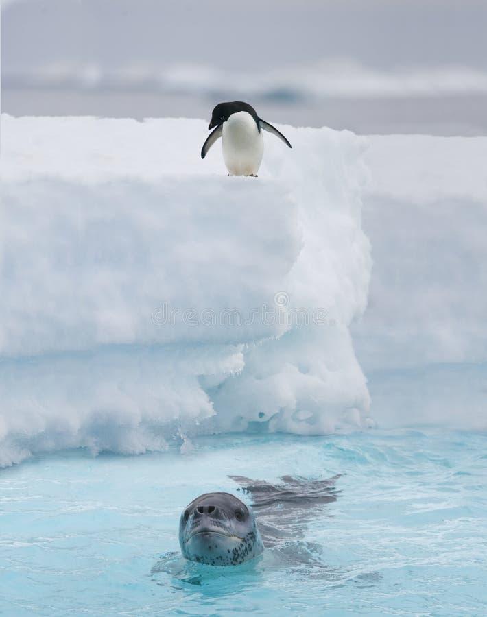 Adelie pingvin som håller ögonen på en leopardskyddsremsa royaltyfri fotografi