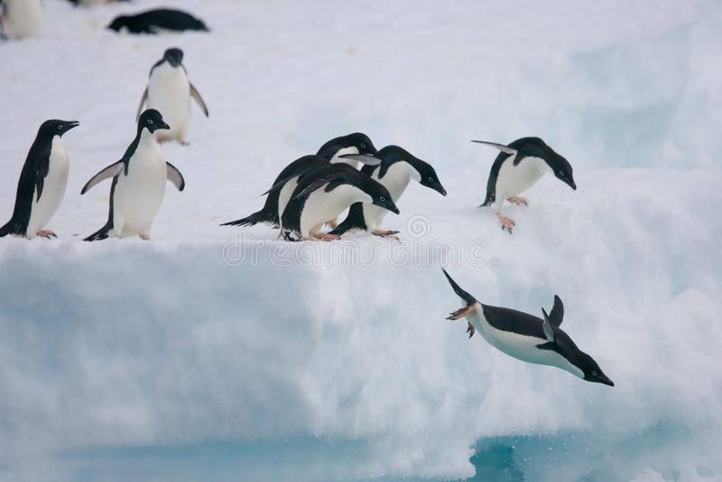 Adelie pingvin som hoppar av isberget royaltyfri foto