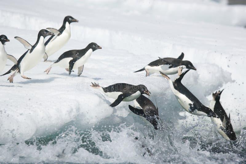 Adelie pingvin som kasta sig in i havet av Antarktis arkivfoto