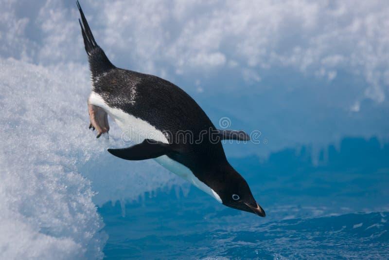 Adelie pingwin przeskakuje od góry lodowa z Antarktycznego wybrzeża fotografia royalty free
