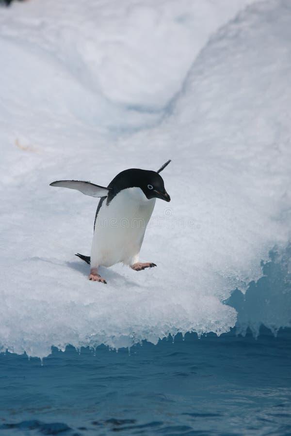 Adelie pingwin wokoło przeskakiwać od góry lodowa zdjęcia stock