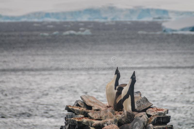 Adelie pingwinu pary obsiadanie na skale fotografia royalty free