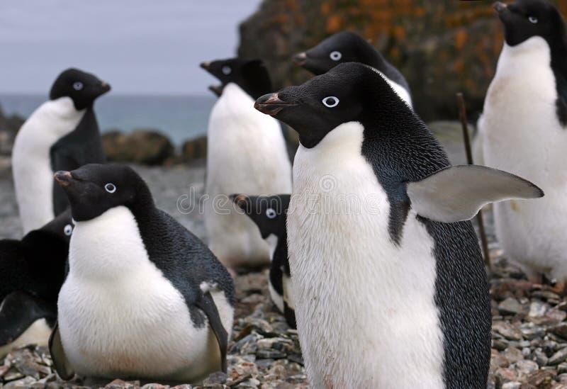 adelie pingwiny zdjęcia stock