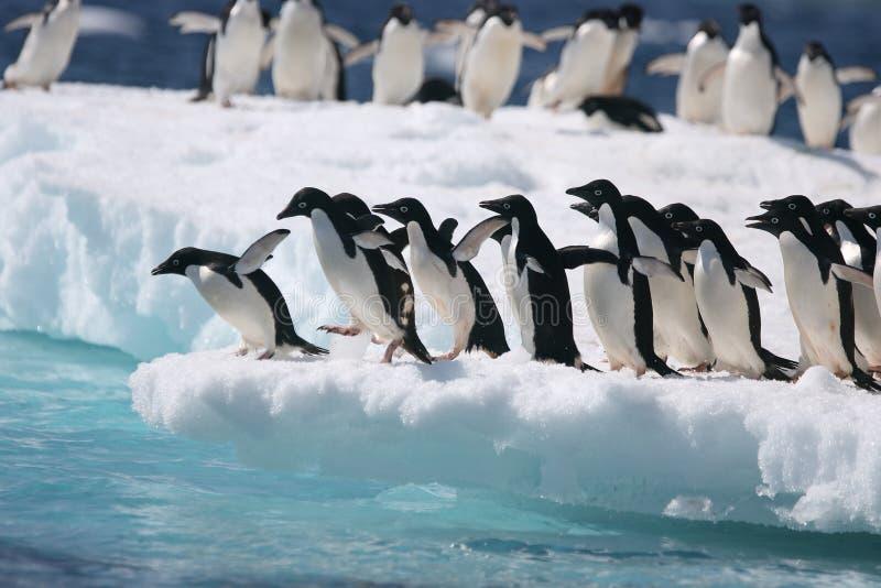 Adelie pingwiny na górze lodowa z Antarktycznego wybrzeża zdjęcia royalty free