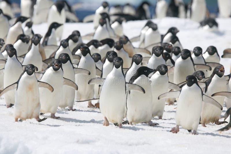 Adelie pingwiny na górze lodowa z Antarktycznego wybrzeża zdjęcia stock