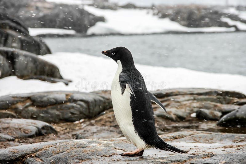 Adelie or pygoscelis adeliae penguin. Is staying alone is snowing weather in Antarctica. There are sea, rocks and snow in the background royalty free stock photos
