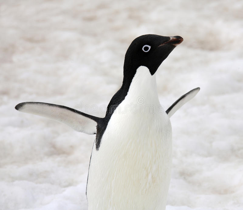 Adeliepinguïn - Antarctica stock foto's
