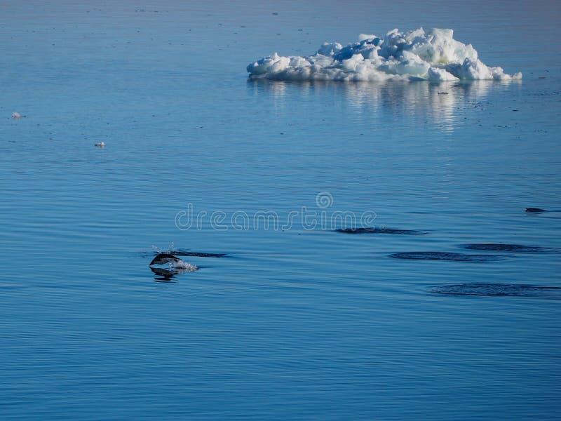 Adeliepinguïnen die en in Antarctica zwemmen duiken stock foto