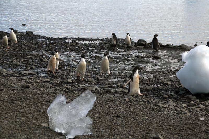 Adeliepinguïnen die op strand onder ijsberg lopen stock foto