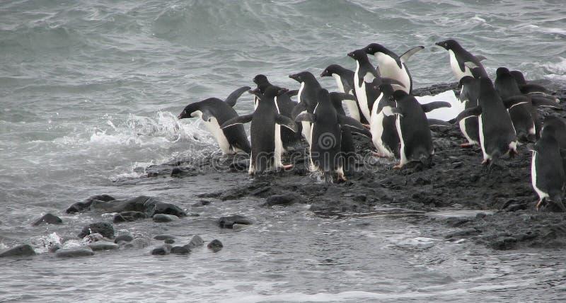 Adeliepinguïnen die in water springen royalty-vrije stock fotografie