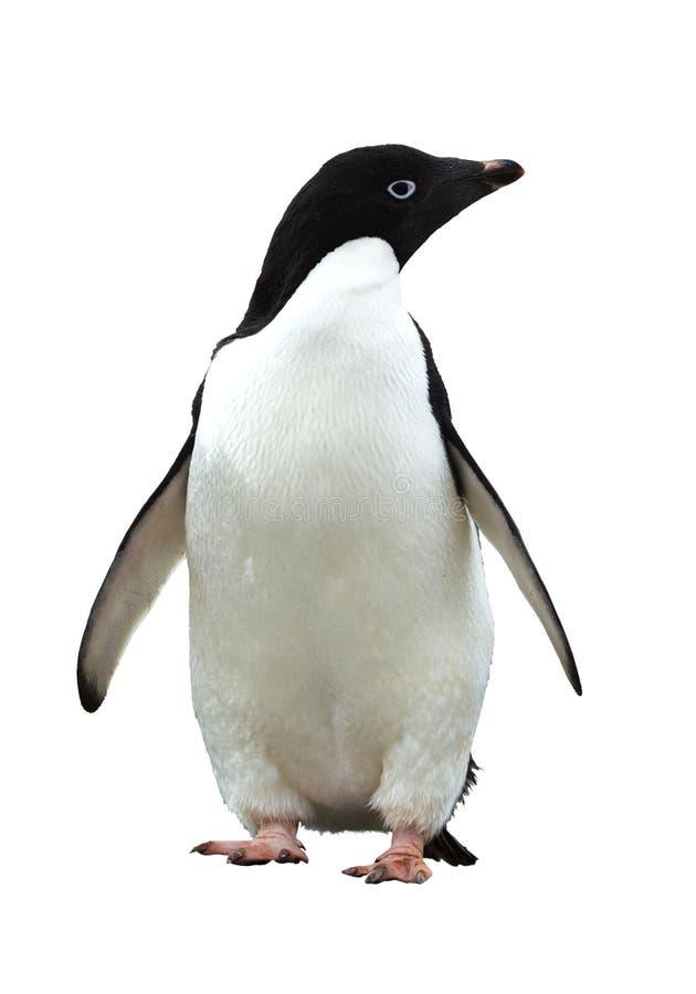 adeliepingvin royaltyfria bilder