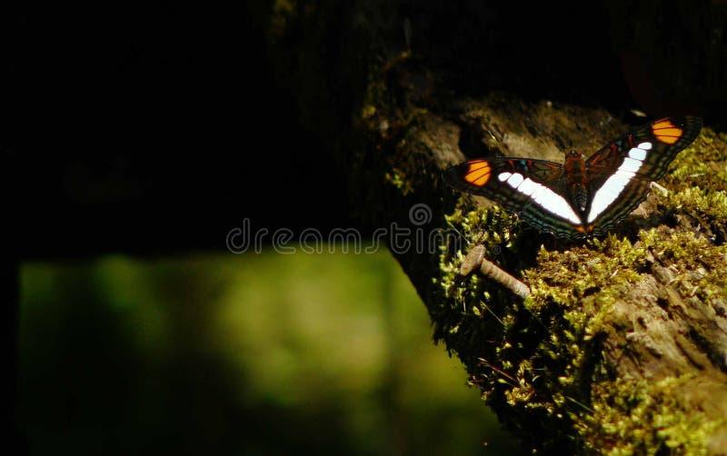 Adelpha или бабочка сестер, черная бабочка с белыми и оранжевыми нашивками сидя на журнале стоковые изображения
