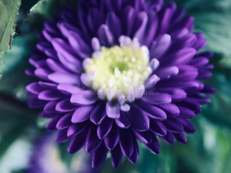 Adelsman och mystisk purpurfärgad krysantemum royaltyfri bild
