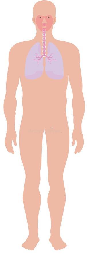 Ademhalings systeem vector illustratie
