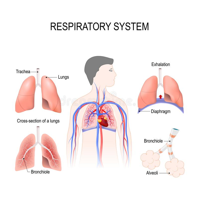 Ademhalingssysteem stock illustratie