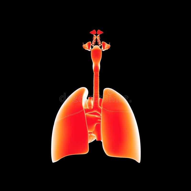 Ademhalingssysteem en hart latere mening stock illustratie