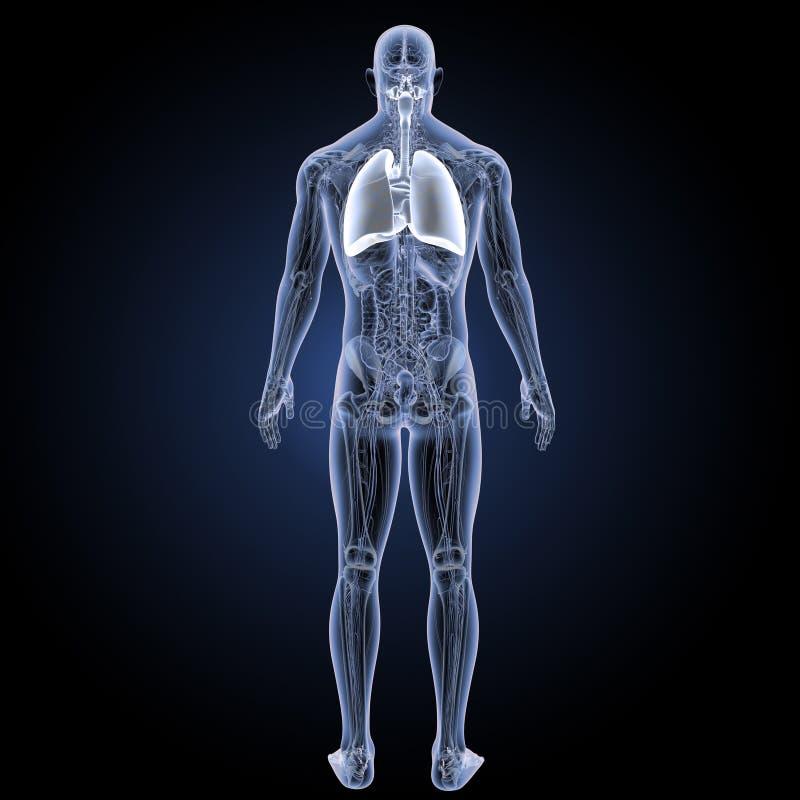 Ademhalingssysteem en hart met anatomie latere mening stock illustratie