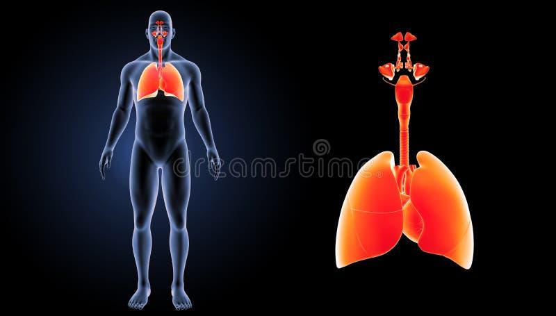 Ademhalingssysteem en Hartgezoem met lichaams voorafgaande mening vector illustratie
