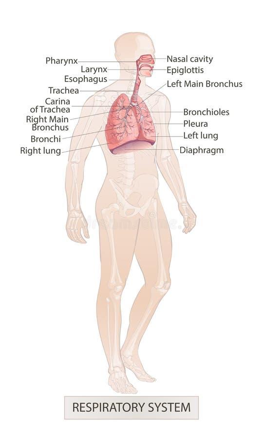 Ademhalingssysteemvector van de menselijke anatomie van het strottehoofd neusgaspedaal De hand verdrinkt schetsillustratie vector illustratie