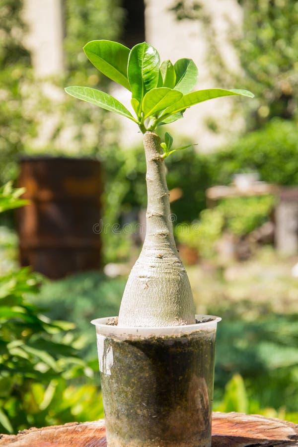Adeniumöknen Rose Star av Sabinia grönsaker blommar och arbeta i trädgården royaltyfria foton