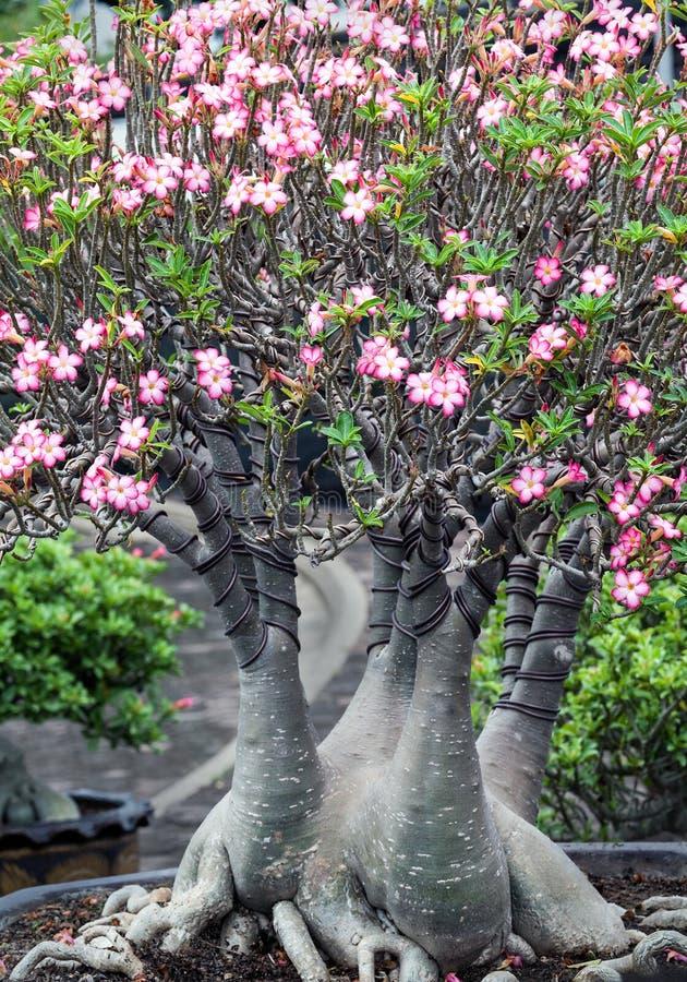 Adenium或沙漠玫瑰色花 库存照片