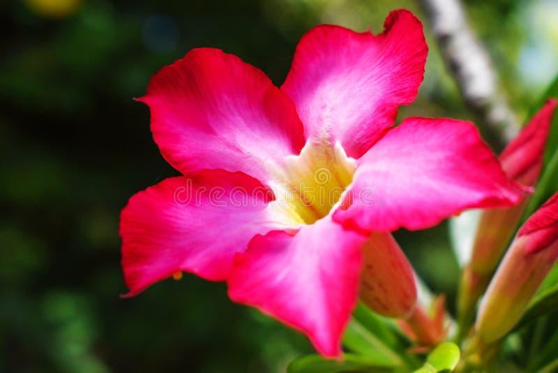 Adenium:杜娟花花是花的一个五颜六色的种类 增长是容易的 抗性对极端天旱沙漠座莲 免版税库存图片