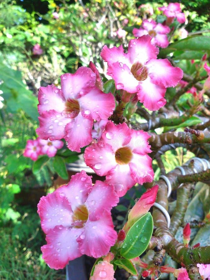 Adenium λουλουδιών στοκ εικόνες με δικαίωμα ελεύθερης χρήσης