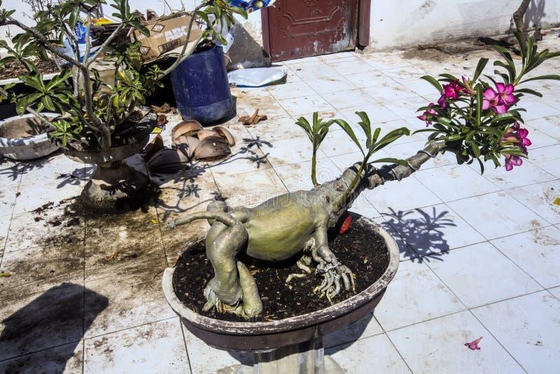 Adenium als bonsaivarken, Lembongan, Indonesië royalty-vrije stock afbeeldingen
