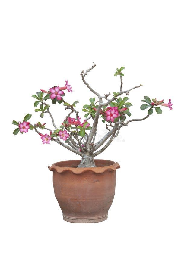 Adenium-Blume oder Wüstenrose lokalisiert auf weißem Hintergrund lizenzfreie stockfotografie