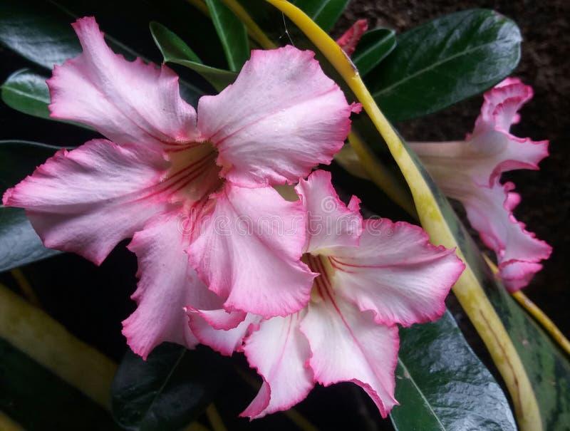 Adenium de la flor rosa claro imagen de archivo libre de regalías