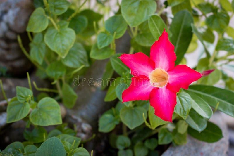 Adenium. desert rose flower, like star. Beautiful pink flower. Pink adenium. stock image