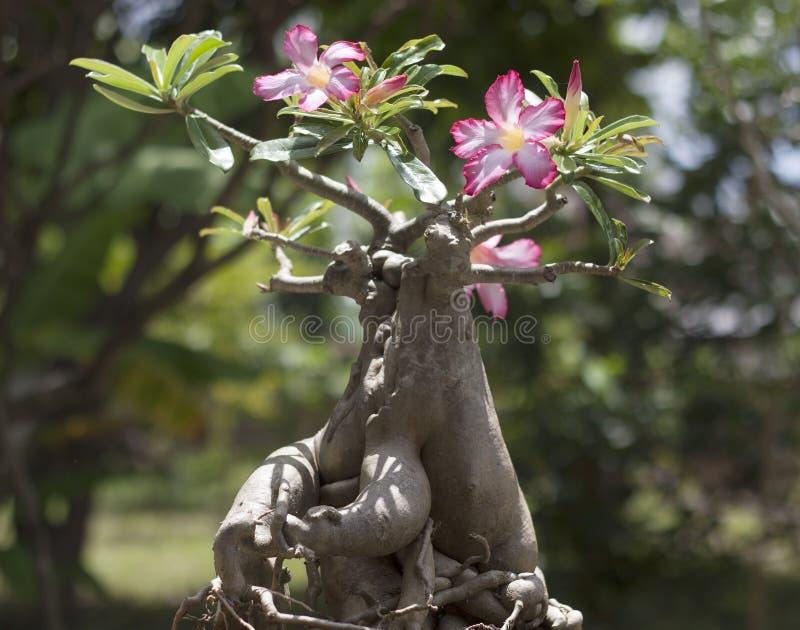 Adenium drzewo fotografia stock