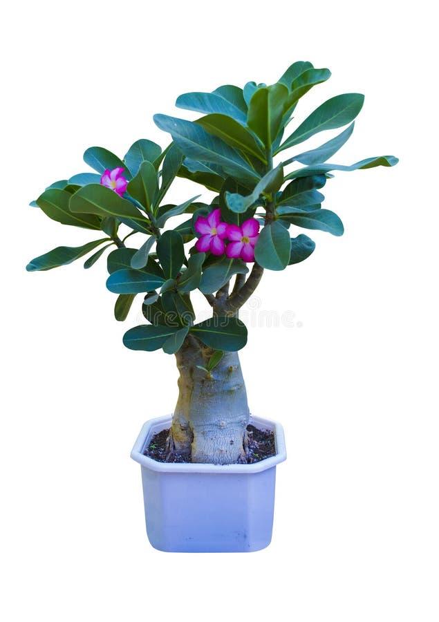 Adenium Fleur d'Adenium Désert Rose adenium d'arbre sur le pot noir photo libre de droits