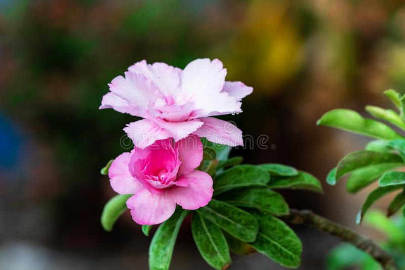 Azalea flowers in the garden stock photos