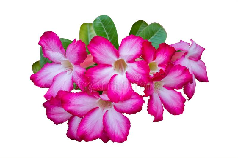 Adenium flower pink isolated on white background, Clipping path stock image