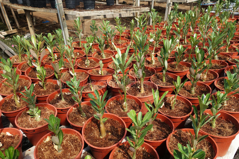 Adenium flower plantations. In Malaysia. Desert rose royalty free stock photos