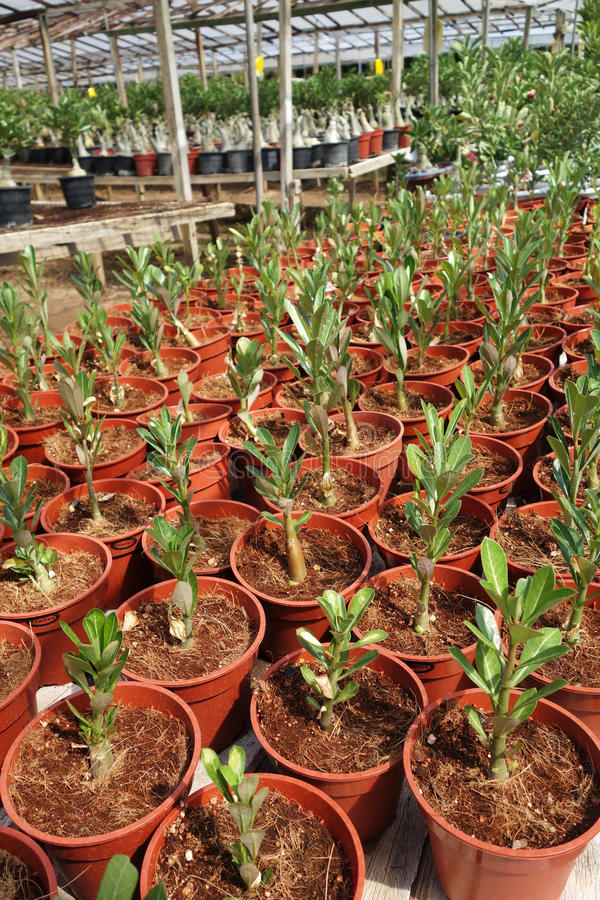 Adenium flower plantations. In Malaysia. Desert rose stock photography