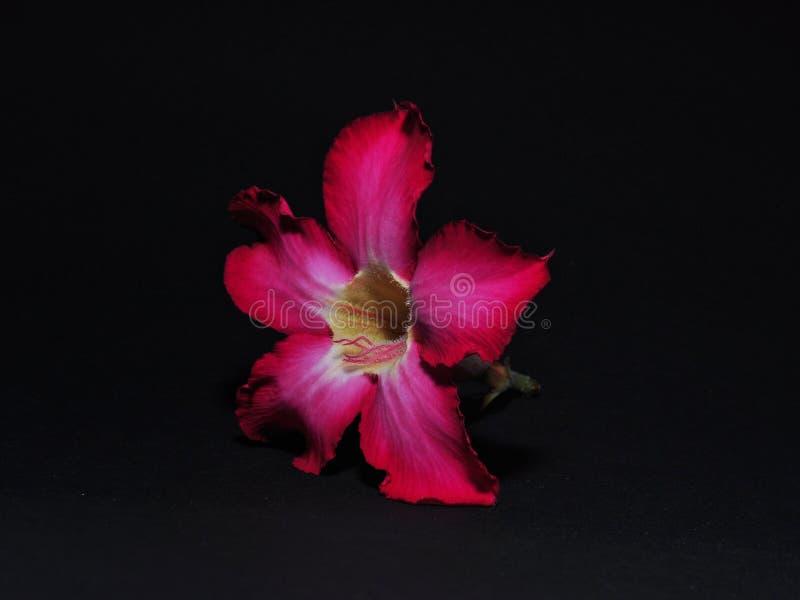 Adenium kwiaty odizolowywający na czarnym tle zdjęcia stock