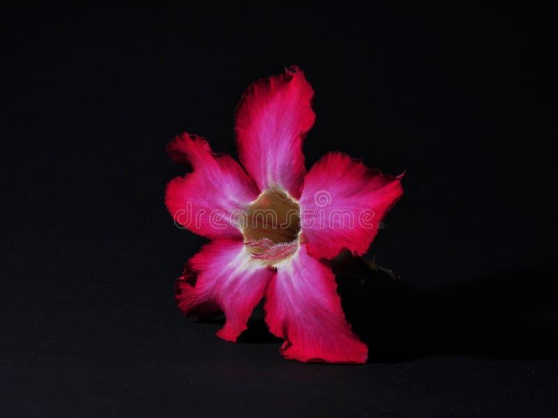Adenium kwiaty odizolowywaj?cy na czarnym tle obrazy stock