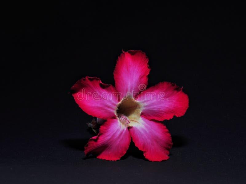 Adenium kwiaty odizolowywaj?cy na czarnym tle obraz royalty free