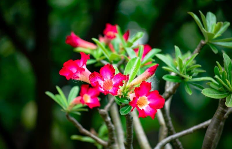 Adenium obesum或沙漠玫瑰色装饰花卉生长在家在庭院里 免版税库存照片
