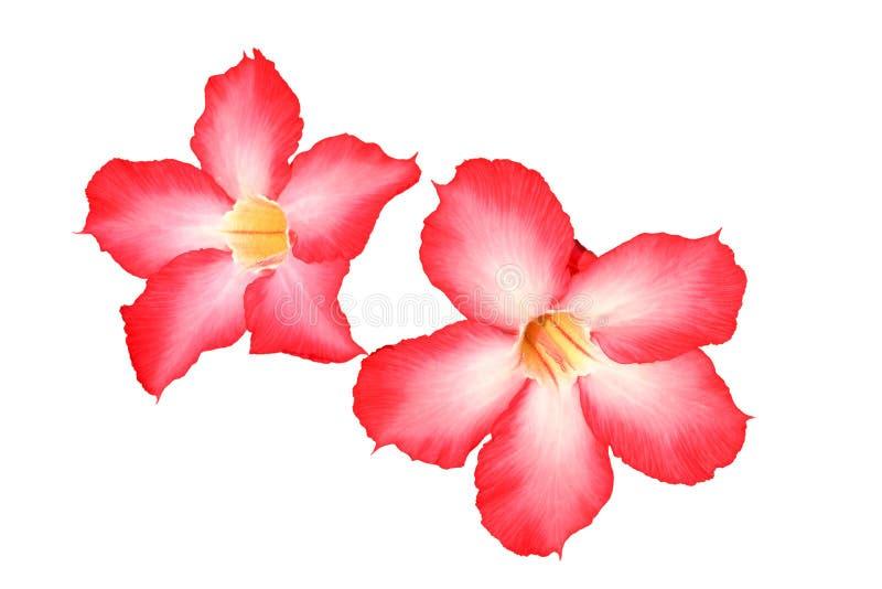 Adenium obesum或飞羚百合是在白色backg的美丽的花 库存照片